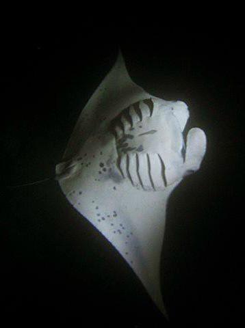 manta ray night snorkel big island of hawaii