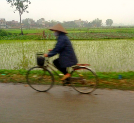 riding a bicycle in rice fields Vietnam